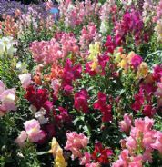 Antirrhinum Nanum Mix - 500 / 3500 seeds